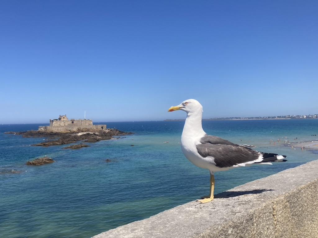 meeuw op de stadsmuur van Saint-Malo